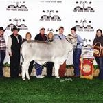 Grand Champion Junior Brahman Scramble Calf in Houston and Reserve at Fort Worth.  Embryo Calves for sale.